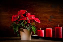 Green fingers this Winter - Poinsettia