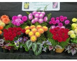 The Worcester and District Chrysanthemum & Dahlia Society