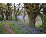 28 April - West Malvern Bluebells