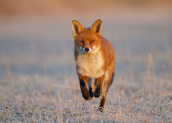 The winner of the Open Air Photographic Exhibition in Malvern - The Fox by Carl Day