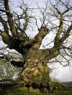 Walk 4 - A Magical Tour on the Malverns - White Leafed Oak Tree